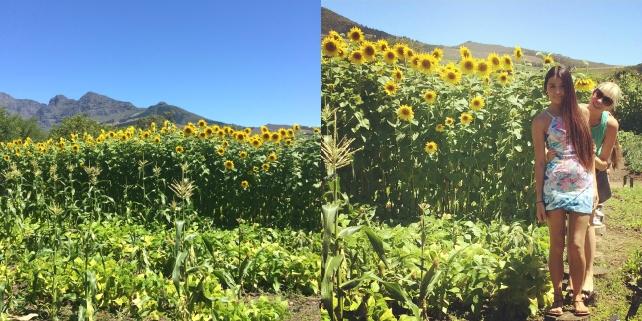 Sunflower flieds